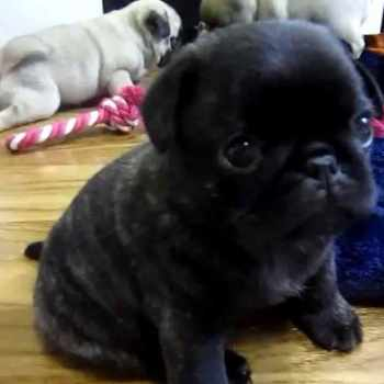 Cutest Pug In The World
