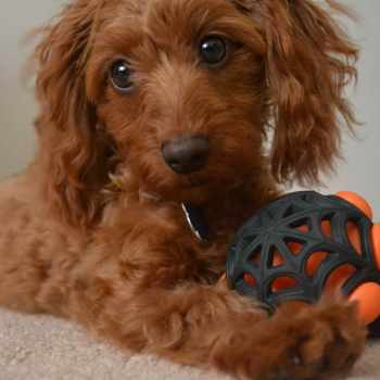 Dachshund And Poodle Mix