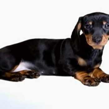 Dachshund Dogs 101
