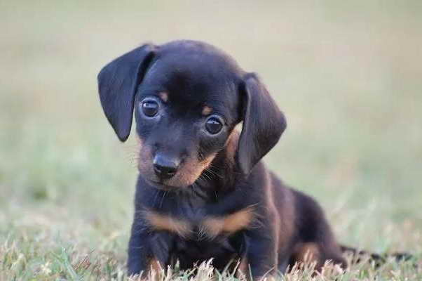 Dachshund For Sale Dallas