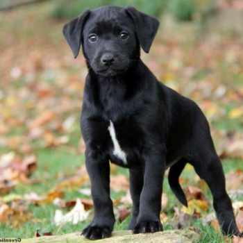 Dachshund Lab Mix Puppies For Sale
