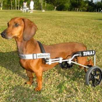 Dachshund Paralysis Hind Legs
