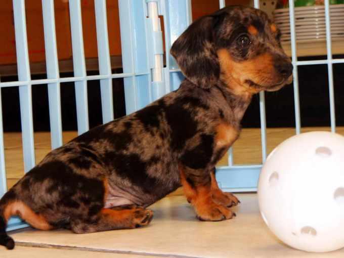 Dachshund Puppies Arizona
