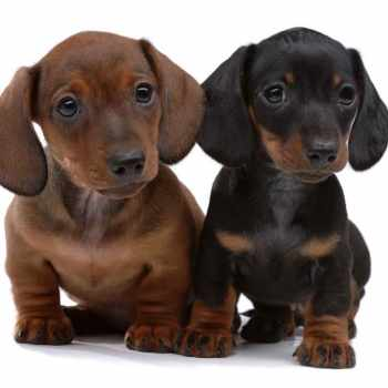 Dachshund Puppies Cost