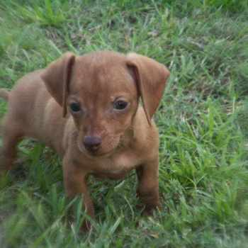Dachshund Puppies For Sale Charlotte Nc
