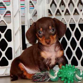 Dachshund Puppies For Sale Fresno Ca