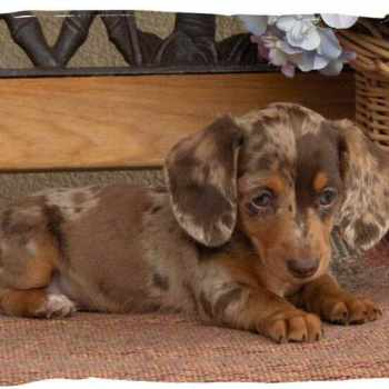 Dachshund Puppies Massachusetts