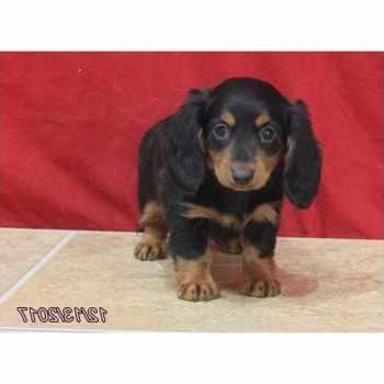 Dachshund Puppies Pensacola
