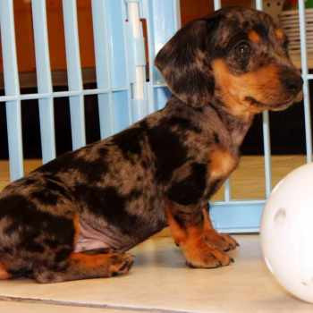 Dapple Dachshund Puppies For Sale In Ga