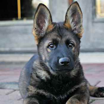 Dark Sable German Shepherd Puppies