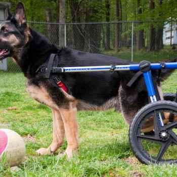 Degenerative Myelopathy German Shepherd Test