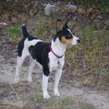 Dexter Rat Terrier