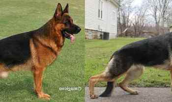 Different German Shepherd Breeds