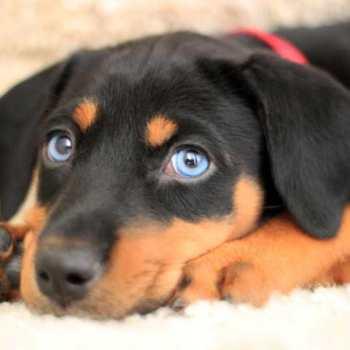 Doberman Husky Mix Puppies For Sale