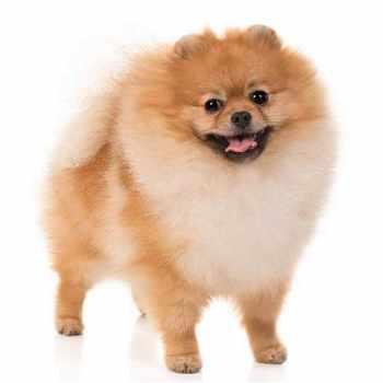 Dog Breeds Pomeranian