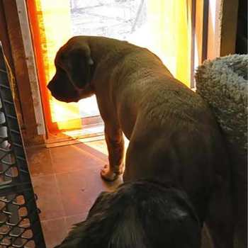 Dog Door For Mastiff