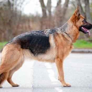 Dog For Sale German Shepherd