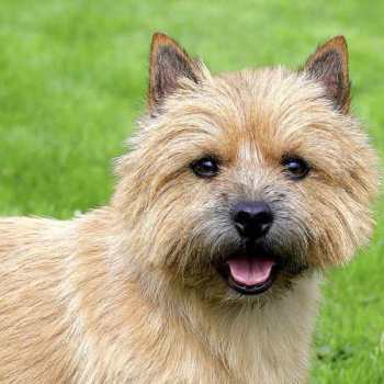 Dog Terrier Breeds
