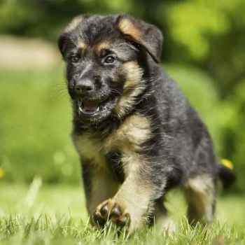 Dogs German Shepherd Puppies