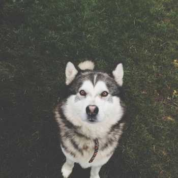 Dogtime Husky