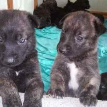 Dutch German Shepherd Puppies For Sale