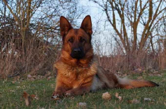 Elite German Shepherd