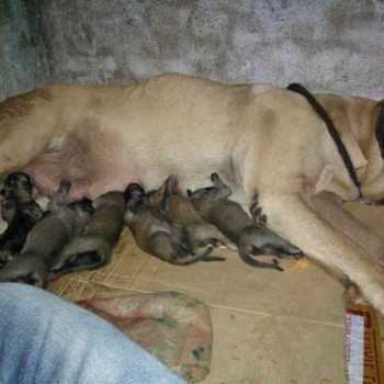 English Mastiff Accessories