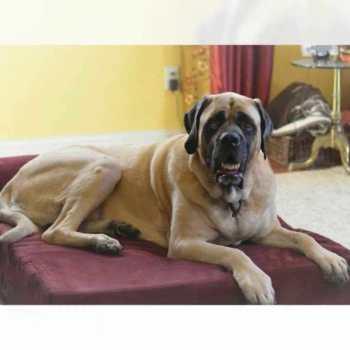English Mastiff Dog Beds