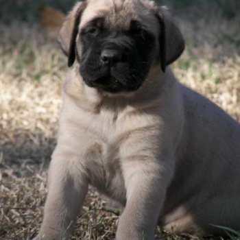 English Mastiff Puppies Adoption