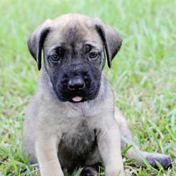 English Mastiff Puppies For Sale In Louisiana