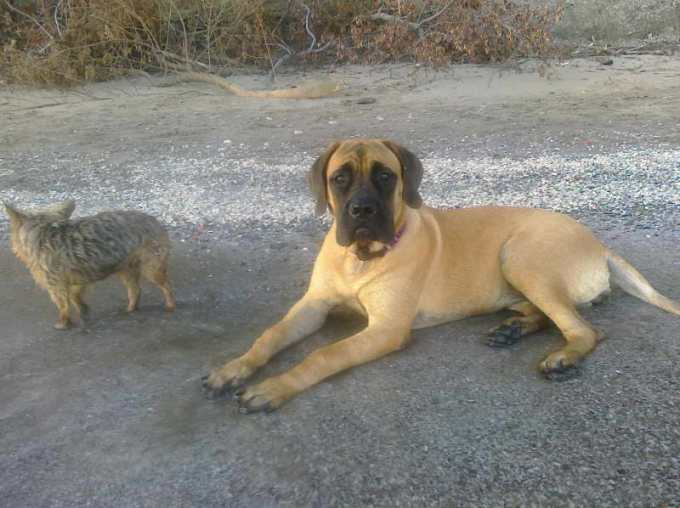 English Mastiff Puppies Ohio