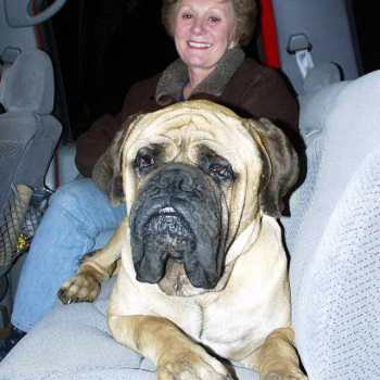 English Mastiff Rescue
