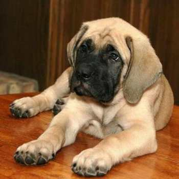 English Mastiff Training Tips