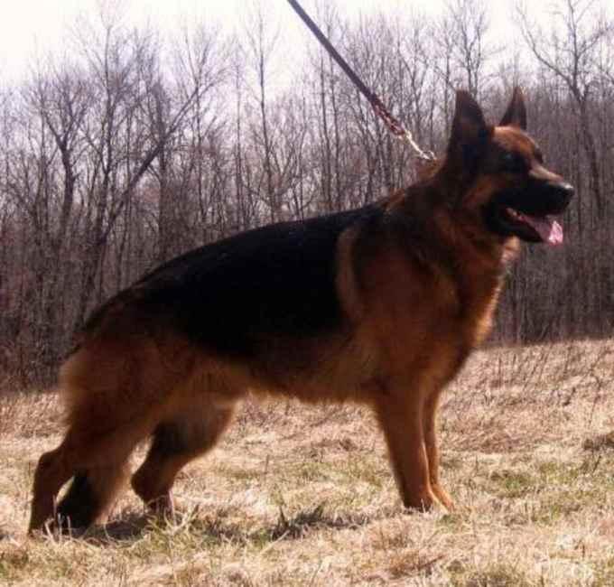 European German Shepherd Puppies For Sale