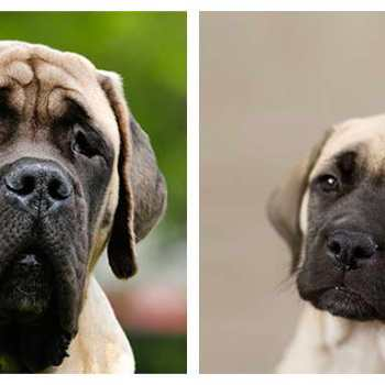 Fawn English Mastiff Puppies