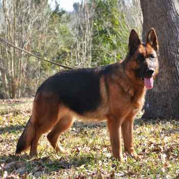 Female German Shepherd For Sale Near Me