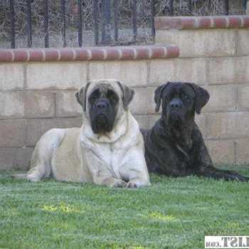 Female Mastiff For Sale