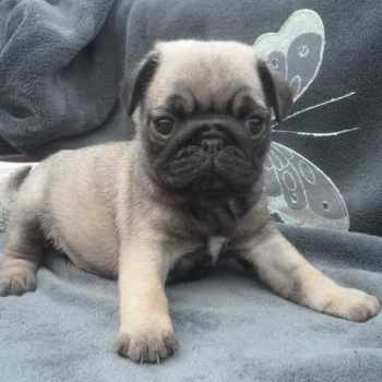 Female Pug Puppies For Sale