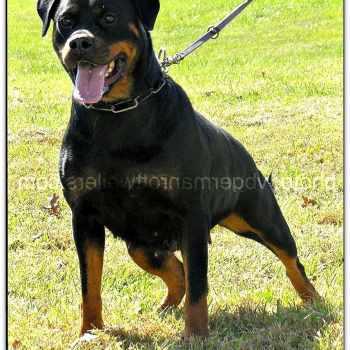 Female Rottweiler For Sale