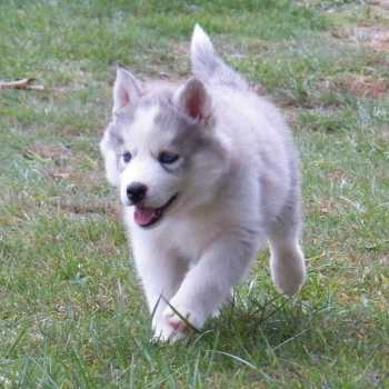 Female Siberian Husky Puppies For Sale