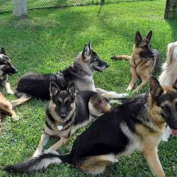 Florida German Shepherd Rescues