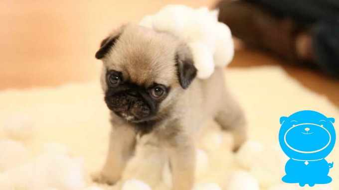 Fluffy Pug Puppies