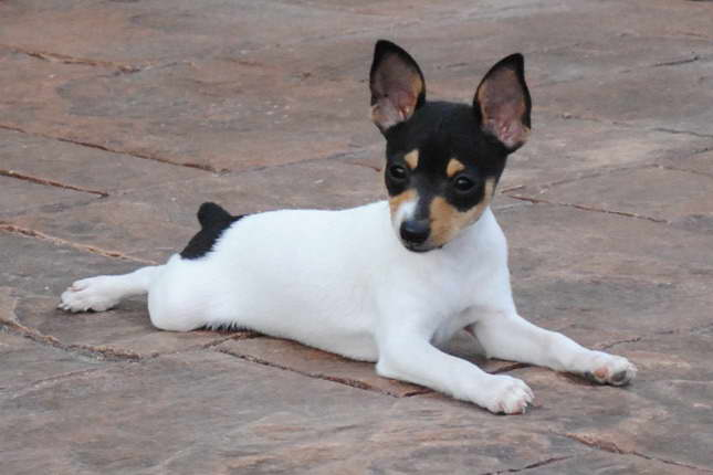 Fox Terrier Puppies For Sale Near Me