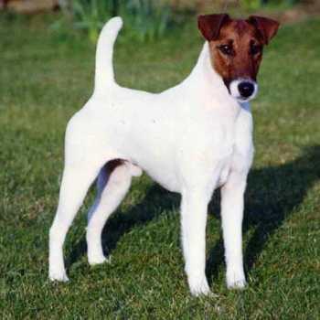 Fox Terrier Rescue Texas