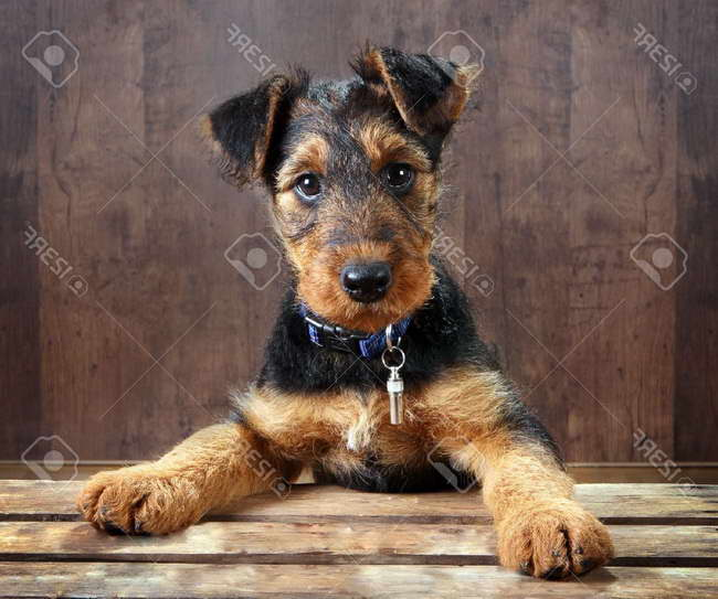 Free Airedale Terrier Puppies