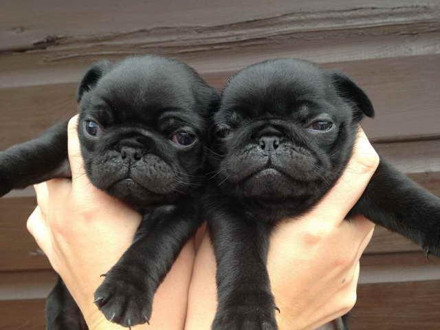 Free Black Pug Puppies