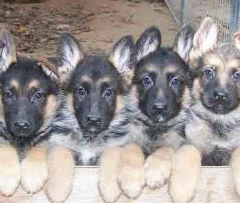 Free German Shepherd Puppies For Sale