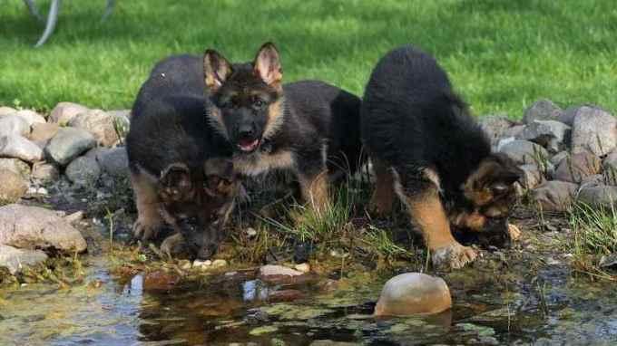Free German Shepherd Puppies In Az