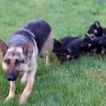 Free German Shepherd Puppies In Ga