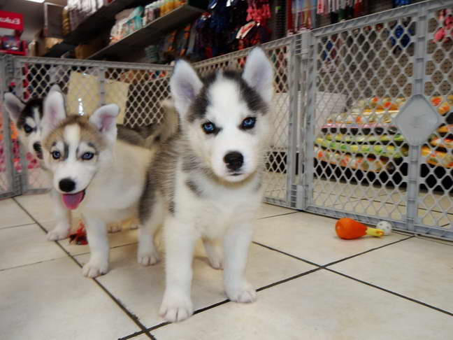 Free Husky Puppies Craigslist